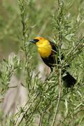 yellow-headed blackbird male (xanthocephalus xanthocephalus) - stock photo