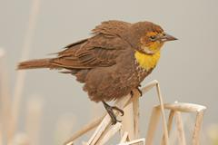 yellow-headed blackbird female (xanthocephalus xanthocephalus) - stock photo