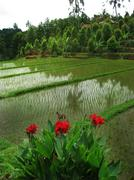 bali: beautiful rice terrace fields, in the north balinese mountains. bali, i - stock photo