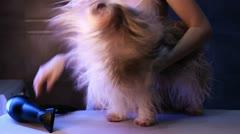 Shih Tzu dog drying. Stock Footage