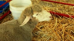 Sheep eats hay in pen Stock Footage