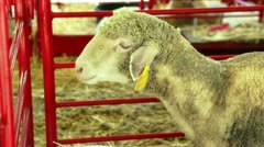 Sheep confined in pen at County Fair Stock Footage