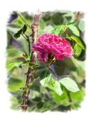 Red rose on a rosebush branch. with background. Stock Illustration