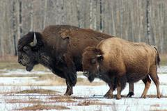 Bison pairb Stock Photos