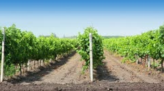 Rows of the vineyard Stock Footage