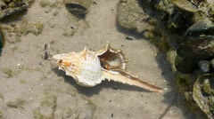 Hermit crab in its conch on the sand Stock Footage