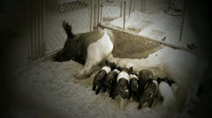 Piglets feed from mother in vignette and sepia effect Stock Footage