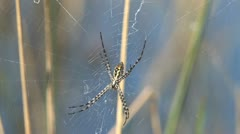 Golden Orb-Web Spider Stock Footage