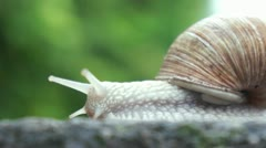 Stock Video Footage of slow snail