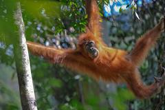 Sumatran orangutan Stock Photos