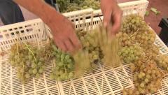 Selection of grapes for dehydration - stock footage