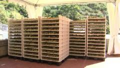 Grapes dehydrating on racks - stock footage