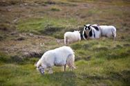 Stock Photo of long-haired sheep herd on the green meadow