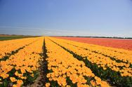 Yellow tulips in a field Stock Photos