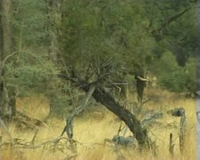 Desert elephant walking in Hoab river bed in Damaraland in Namibia. Stock Footage