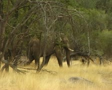 Desert elephant walking in dry Hoab river bed in Damara Land, Namibia. Stock Footage