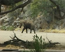 Desert Elephant in dry river bed in Damaraland, Namibia. Stock Footage