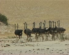 Ostriches in Huab Stock Footage