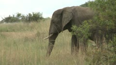 Elephant walking Stock Footage