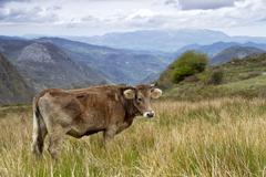 cow on a pasture asturias - stock photo
