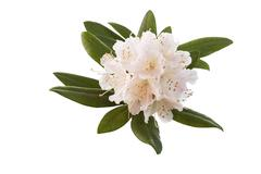 White and pink rhododendron flower in full seasonal bloom Stock Photos