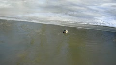 Male mallard duck bird swim winter river water Stock Footage