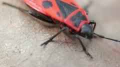 Firebugs mating [Macro] _1 Stock Footage