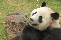 giant panda bear (ailuropoda melanoleuca), china - stock photo
