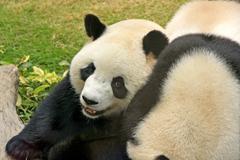 giant panda bears (ailuropoda melanoleuca), china - stock photo
