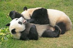 giant panda bears (ailuropoda melanoleuca), china - stock photo