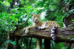 jaguar (panthera onca) - stock photo