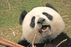 Giant panda bear (ailuropoda melanoleuca), china Stock Photos