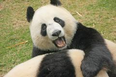 Giant panda bears (ailuropoda melanoleuca), china Stock Photos