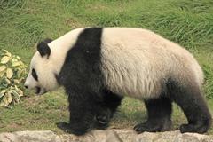 giant panda bear (ailuropoda melanoleuca), china - stock photo