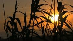 Sunset Thru Bamboo reeds Stock Footage
