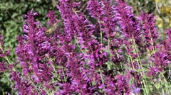 Broad-tailed Hummingbird feeds on Hyssop flowers, perches Stock Footage