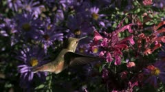 Broad-tailed Hummingbird feeds in flower heaven Stock Footage