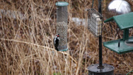 Red-Bellied-and Downy Woodpecker on Bird Feeder Stock Video Stock Footage