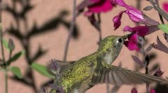 Broad-tailed Hummingbird ECU hovers and feeds on red salvia nectar Stock Footage