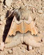 marbled brown moth - stock photo