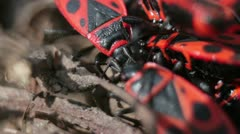 Firebugs mating [Macro] _5 Stock Footage
