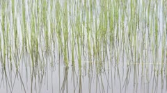 Water Reeds reflecting in the Water Stock Footage