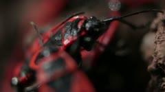 Firebugs mating [Macro] _6 Stock Footage