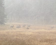 Mule deer herd in snowstorm at Yellowstone National Park, autumn Stock Footage