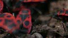 Firebugs mating [Macro] aggregation behavior _2 Stock Footage