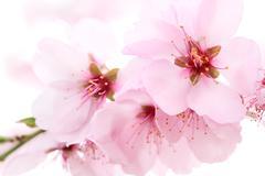 dreamy cherry blossoms - stock photo