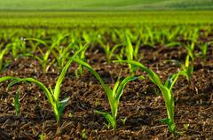 sunlit young corn plants - stock photo