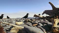 Crows Hunting and Pecking on Beach Rocks - low angle close wide 1 Stock Footage