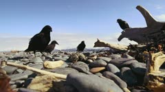 Crows Hunting and Pecking on Beach Rocks - low angle close wide 2 Stock Footage