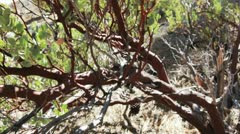 Manzanita tree has a red trunk Stock Footage